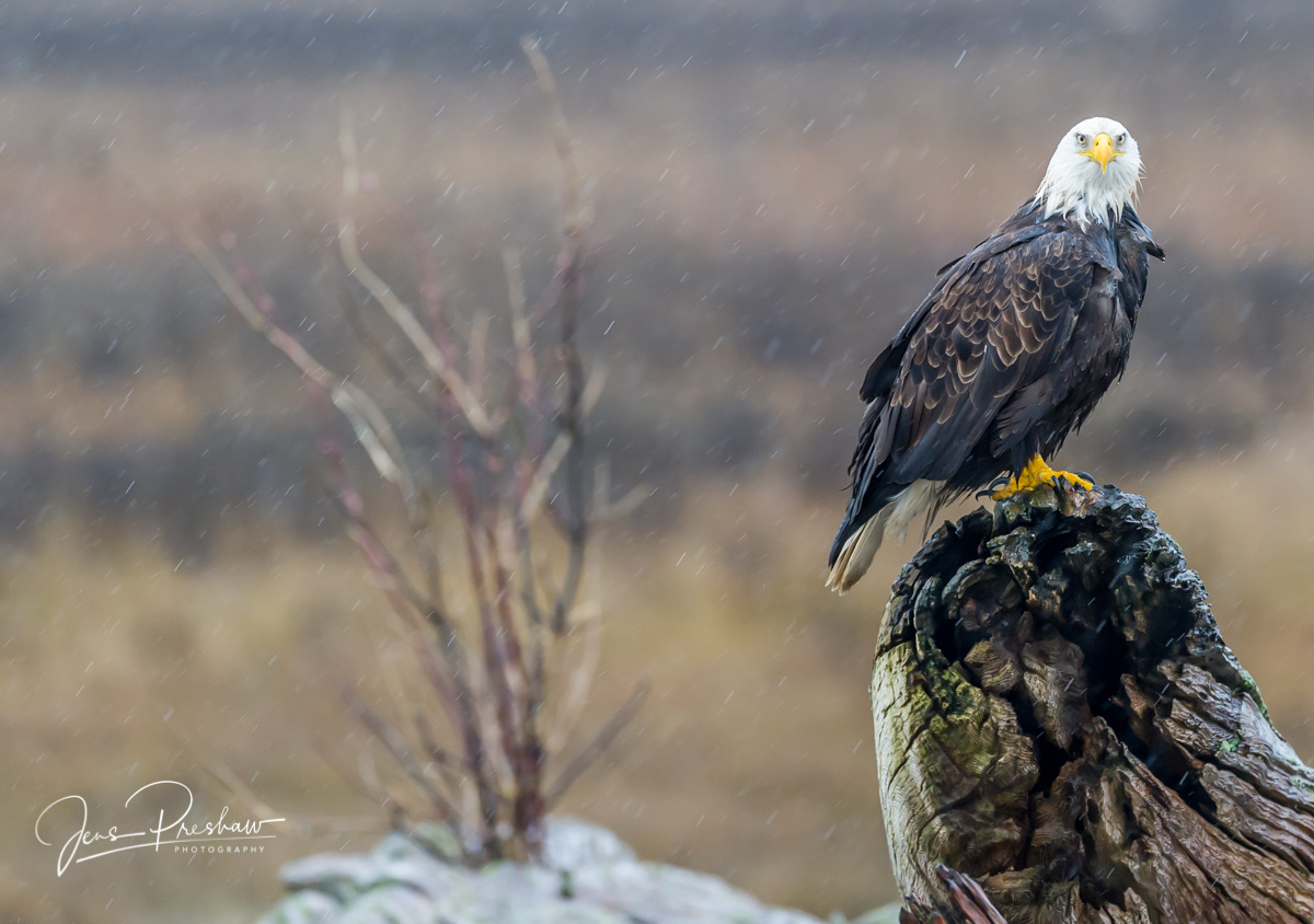 Bald Eagle, Haliaeetus leucocephalus, Adult, Driftwood, Rain, Boundary Bay Regional Park, Delta, British Columbia, Canada, Winter, photo