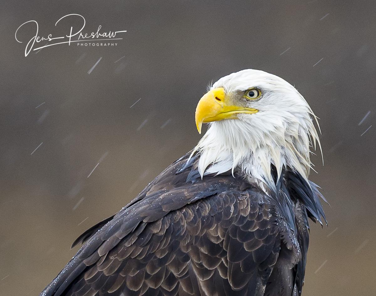 Bald Eagle, Haliaeetus leucocephalus, Boundary Bay, British Columbia, Canada, Rain, Winter, photo