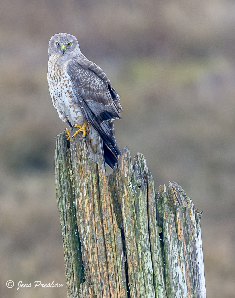 Northern Harrier, Circus hudsonius, George C. Reifel Migratory Bird Sanctuary, British Columbia, Canada, Spring, photo