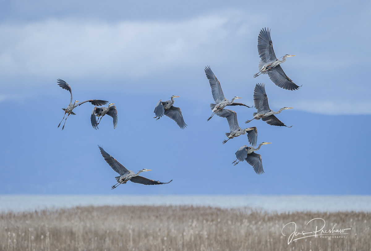 Nine Pacific Great Blue Herons ( Ardea herodias fannini ) lift off from a marsh. The main predator of the species in British...
