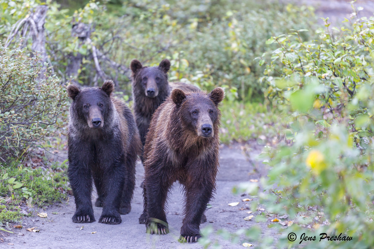 Grizzly Bear, Sow, Cubs, Claws, British Columbia, West Coast, Canada, Summer, photo