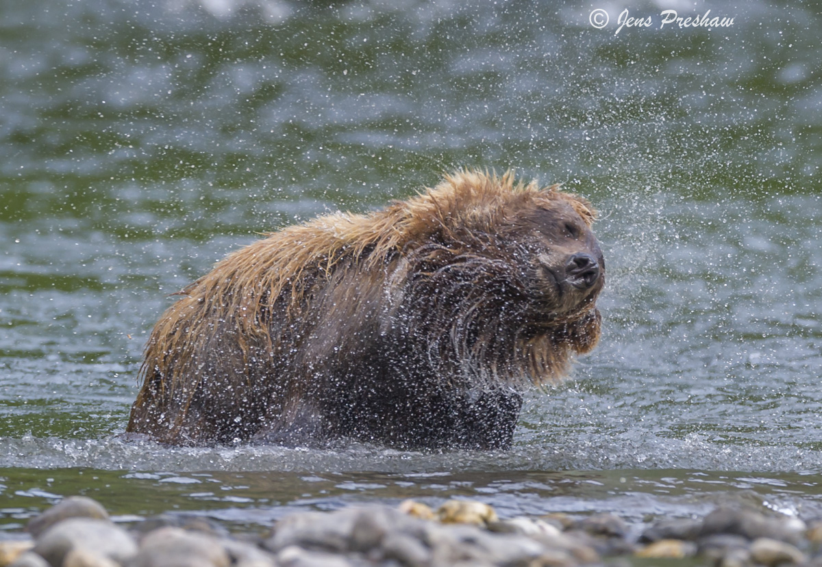 Grizzly Bear, River, Shaking, Dry, British Columbia, Western Canada, Summer, photo
