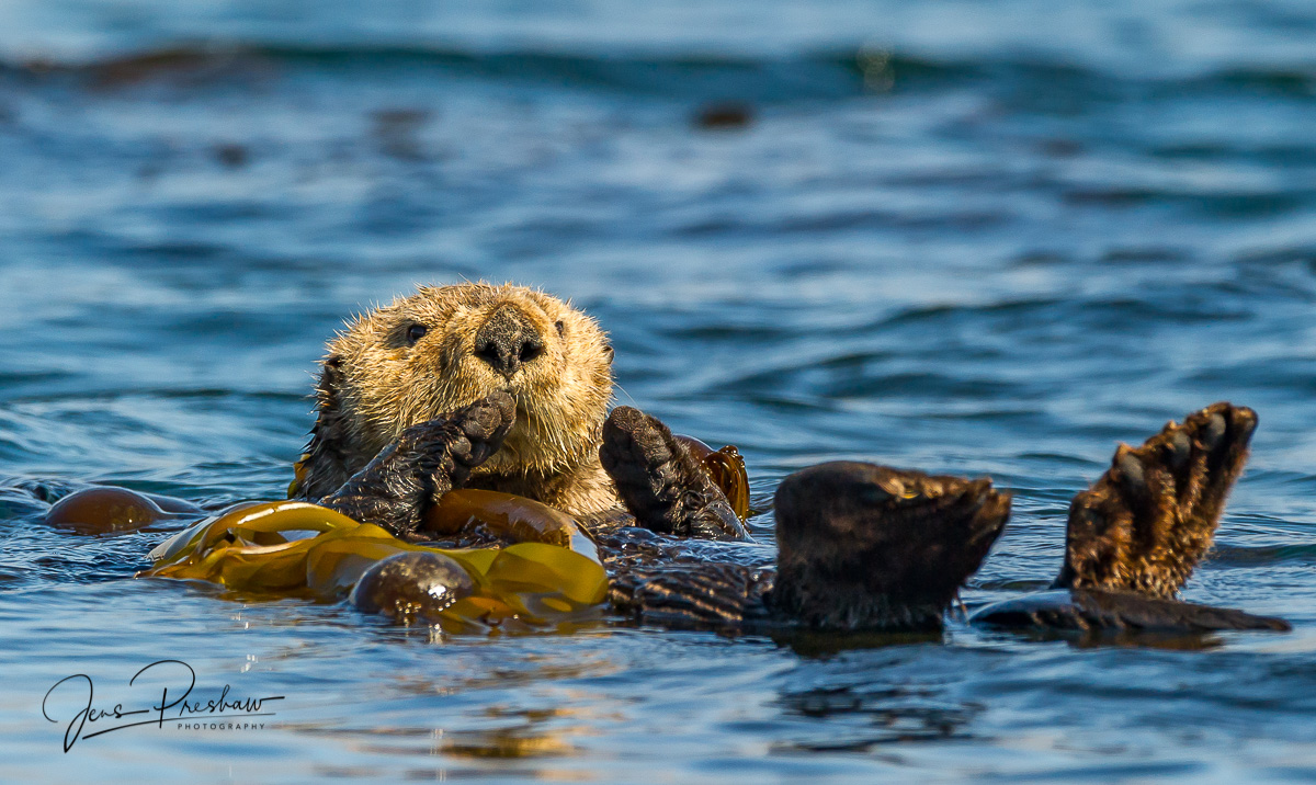 A Sea otter ( Enhydra lutris ) floats in the Bull kelp close to shore. The Sea otter puts its arm around the Bull kelp to anchor...
