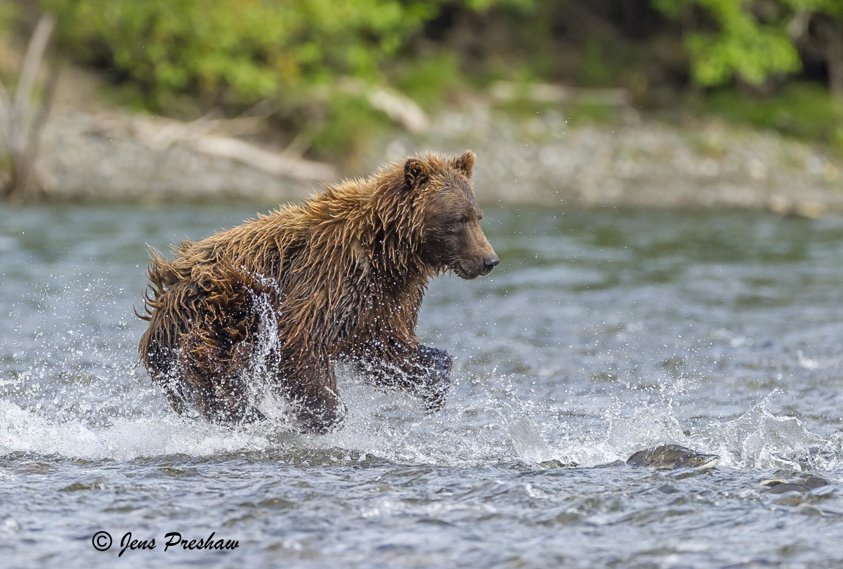 Grizzly Bear, Salmon, River, British Columbia, Western Canada, Summer, photo