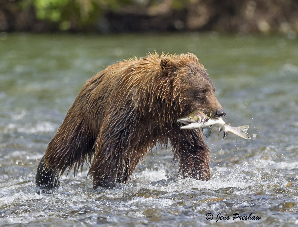 Grizzly Bear, Fishing, Salmon, River, British Columbia, Western Canada, Summer, photo