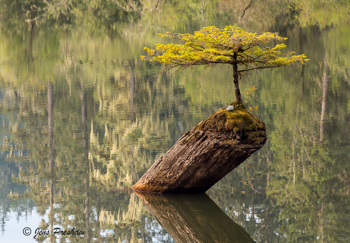 Conifer, Nurse Log, Lake, Vancouver Island, British Columbia, Canada, West Coast, Summer, photo