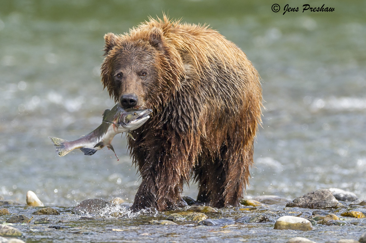 A grizzly bear is successful catching a pink salmon.