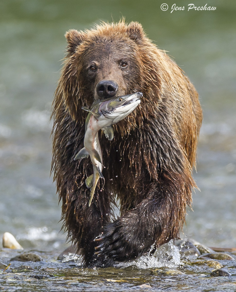 Grizzly Bear, Pink Salmon, River, Fishing, British Columbia, West Coast, Canada, Summer, photo