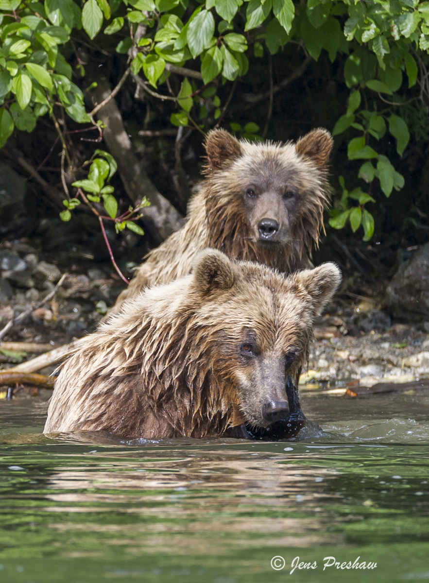 Grizzly Bear, Sow, Cub, River, Fishing, West Coast, British Columbia, Canada, Summer, Golden Light, photo