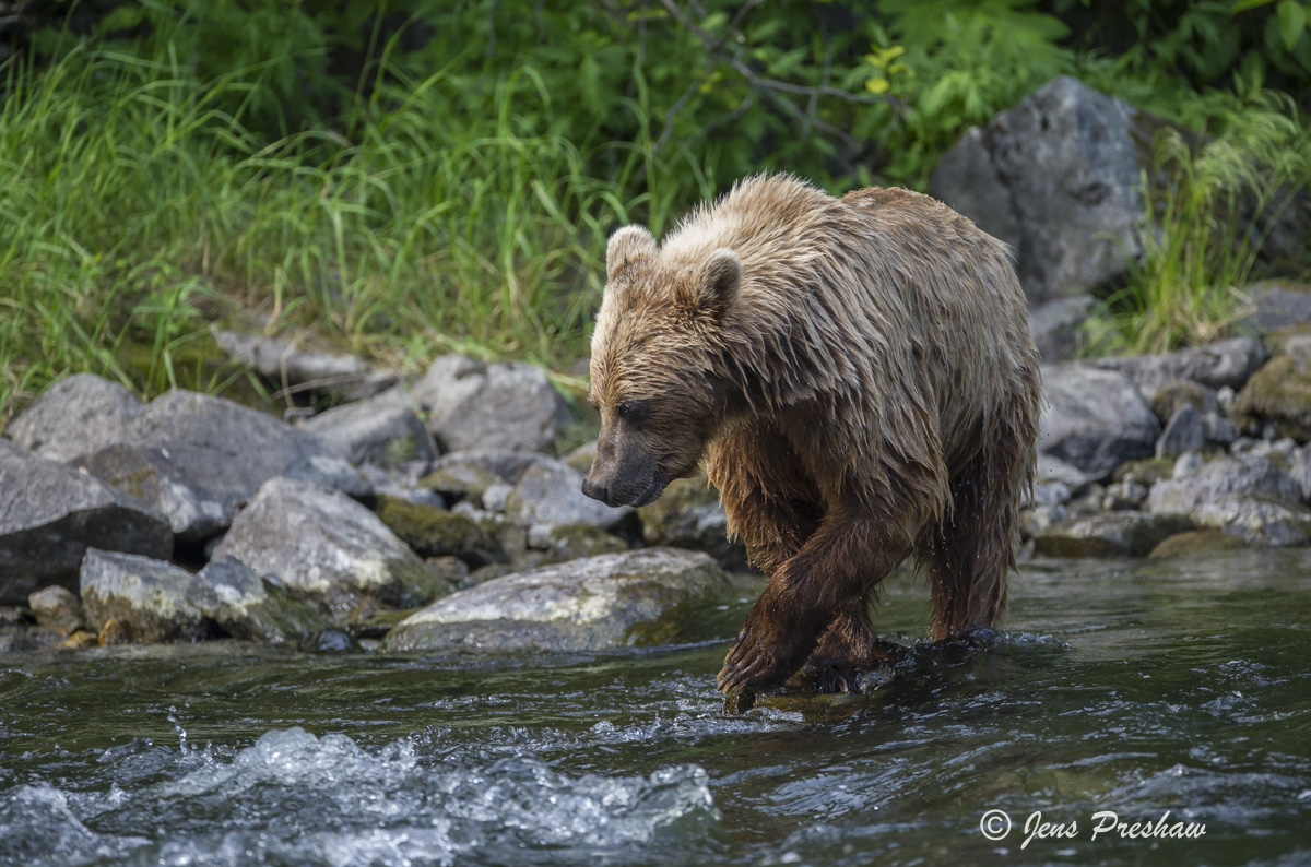 Grizzly Bear, Fishing, River, British Columbia, West Coast, Canada, Summer, photo
