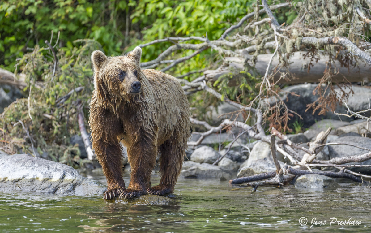 Grizzly Bear, River, Rock, Claws, British Columbia, Western Canada, Summer, photo