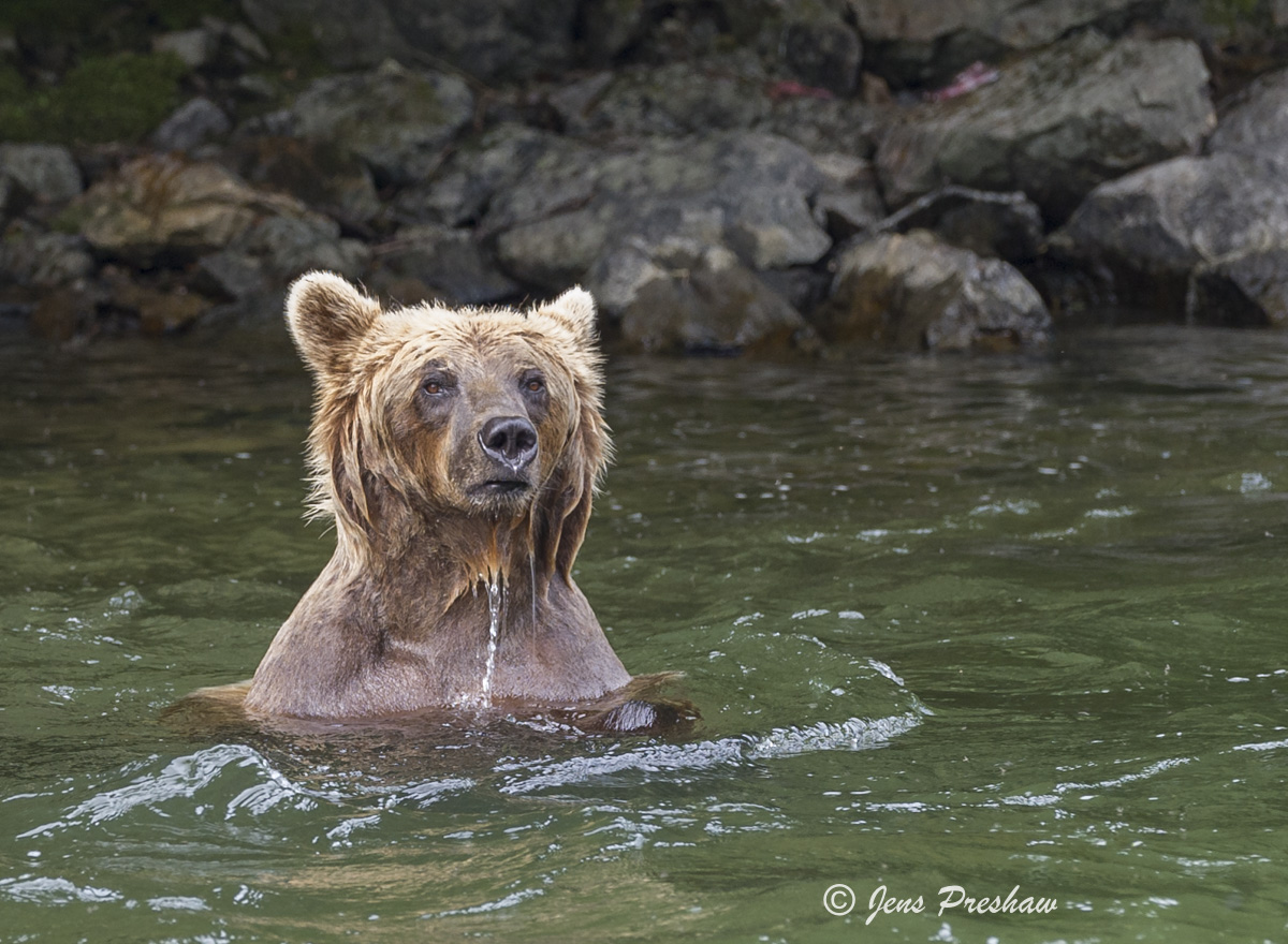 Grizzly Bear, Wading, River, Fishing, Salmon, British Columbia, Western Canada, Summer, photo