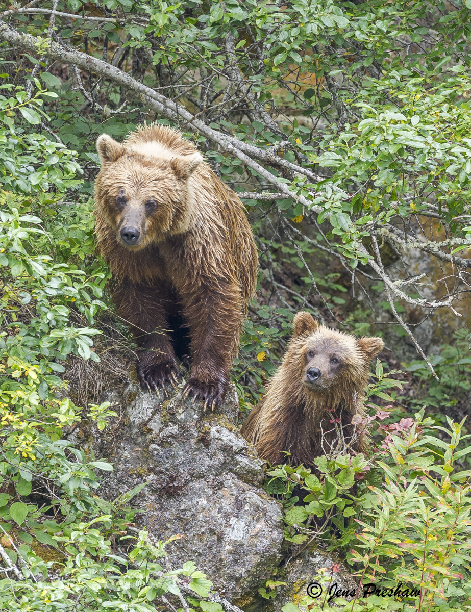Grizzly Bear, Sow, Cub, Forest, River, British Columbia, Western Canada, Summer, photo