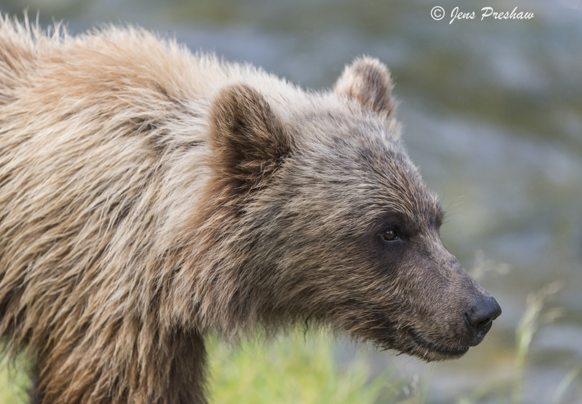 Grizzly Bear, Cub, River, Riverbank, British Columbia, Western Canada, Summer, photo