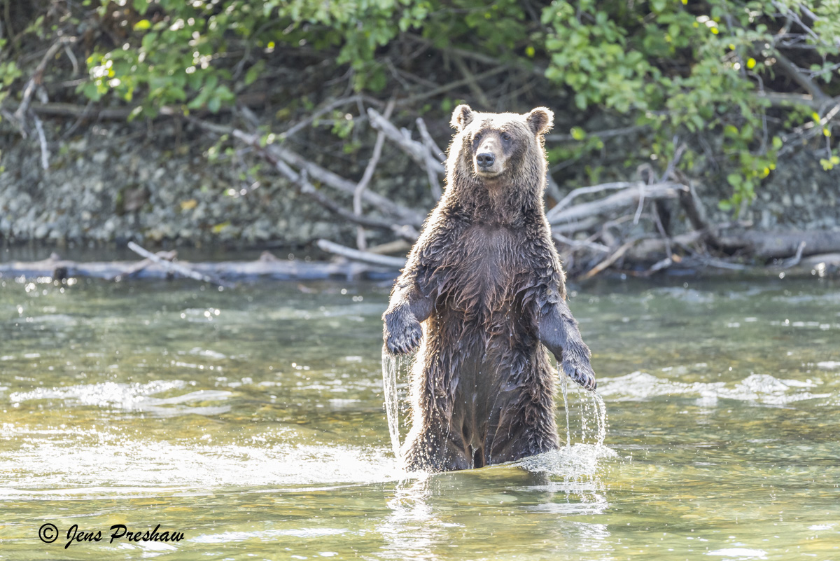 Grizzly Bear, Standing On Hind Legs, Fishing, River, Hind Legs, Salmon, British Columbia, Western Canada, Summer , photo