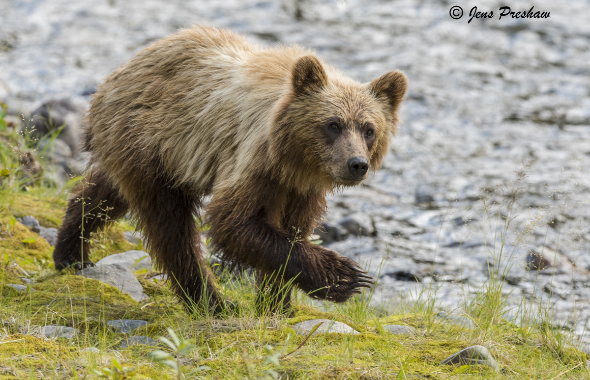 Grizzly Bear, Cub, Riverbank, Grasses, River, British Columbia, Western Canada, Summer, photo
