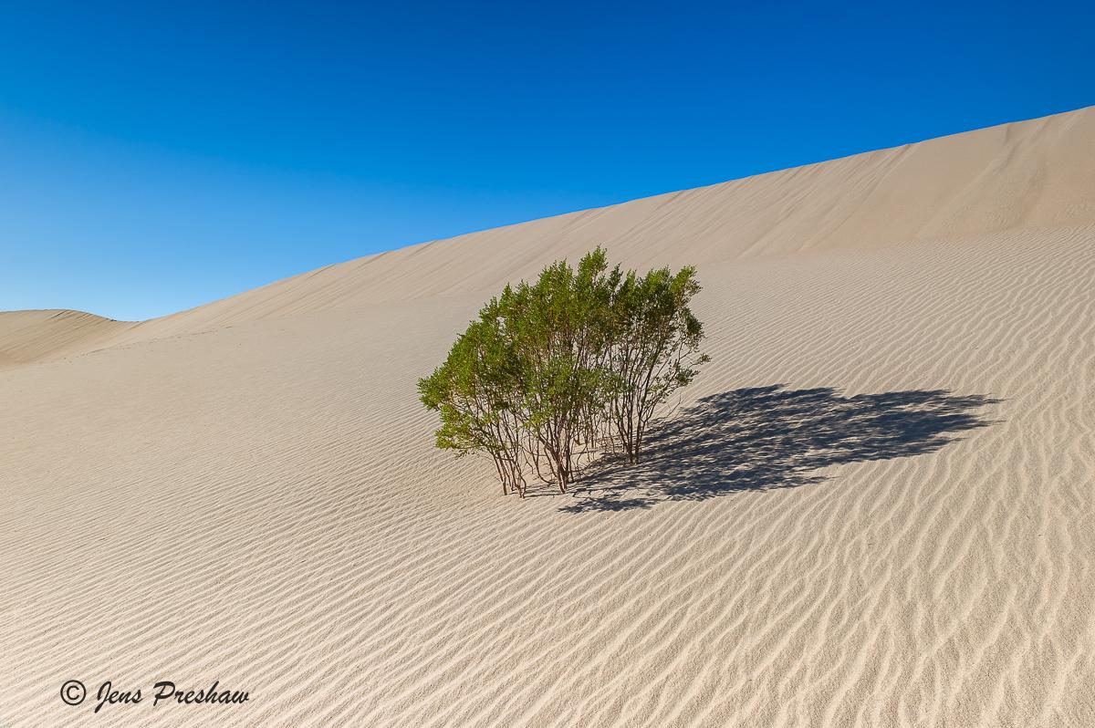 Creosote Bush, Mesquite Flat Dunes, sand, Death Valley National Park, California, USA