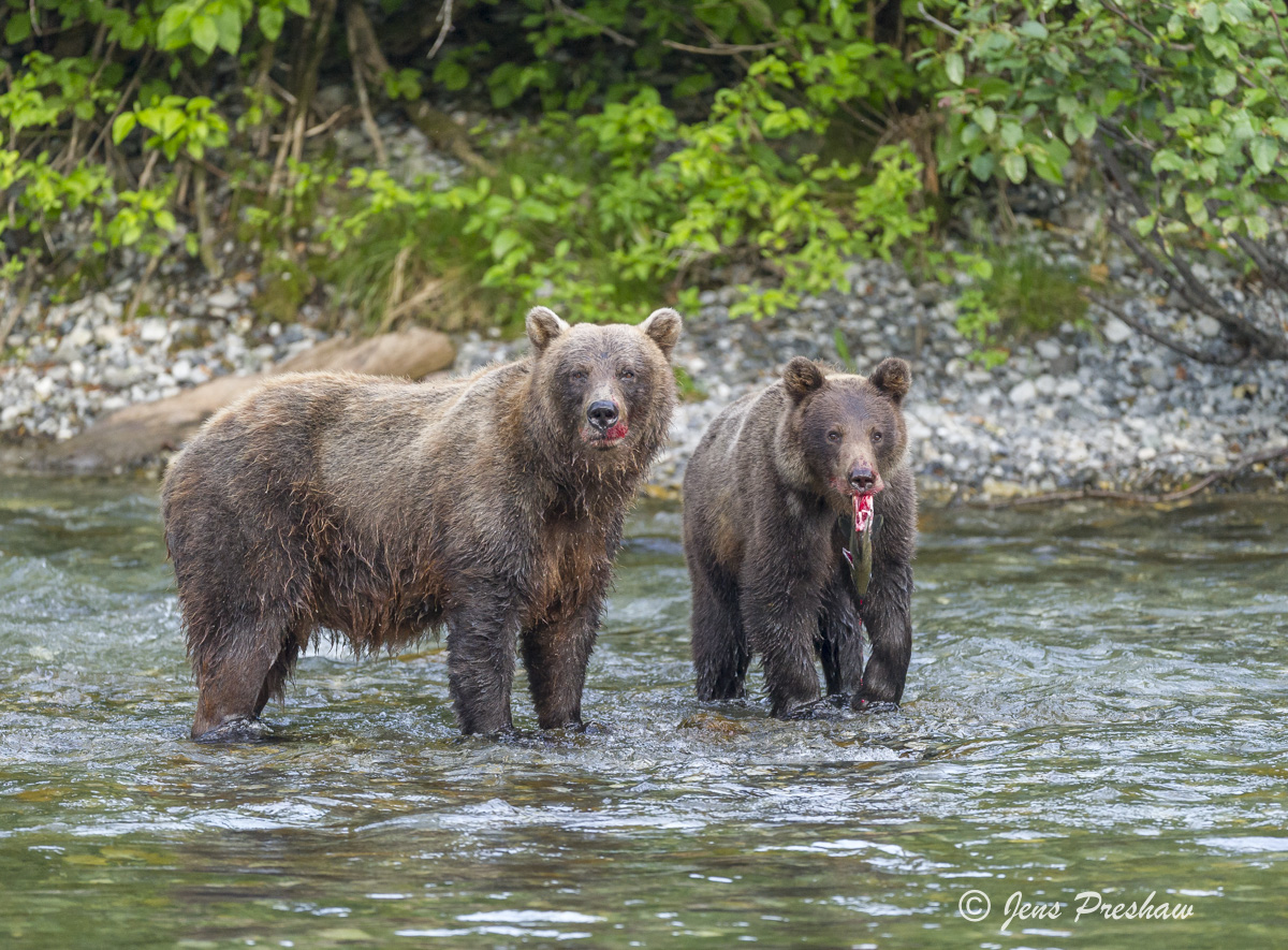 Grizzly Bear, Sow, Cub, Fishing, River, Salmon, British Columbia, Western Canada, Summer, photo