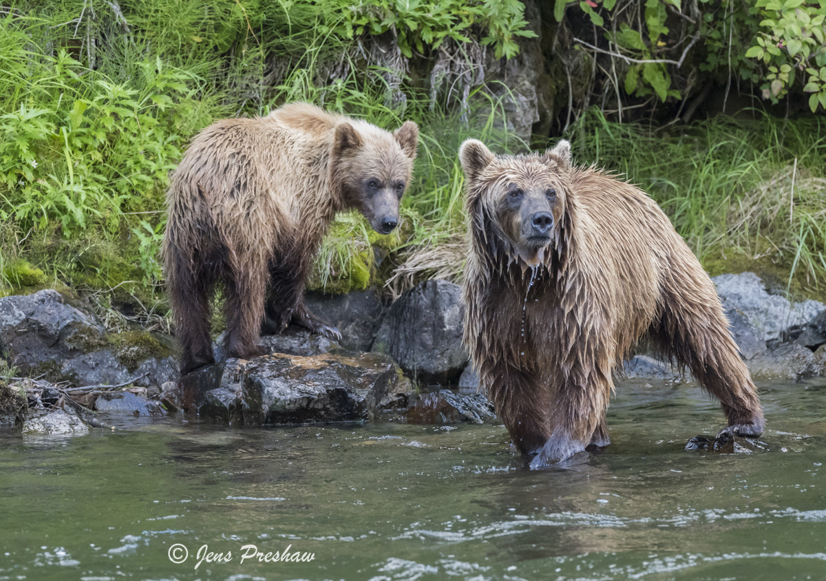 Grizzly Bear, Sow, Cub, Fishing, Salmon, Riverbank, Rocks, River, British Columbia, Western Canada, Summer, photo