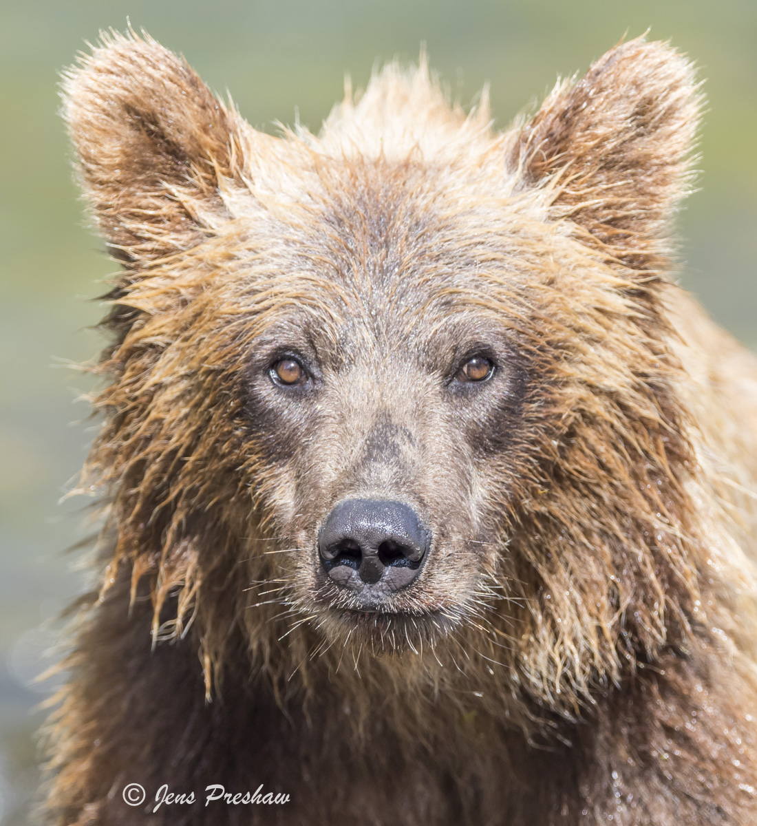Grizzly Bear, Cub, River, British Columbia, Western Canada, Summer, photo