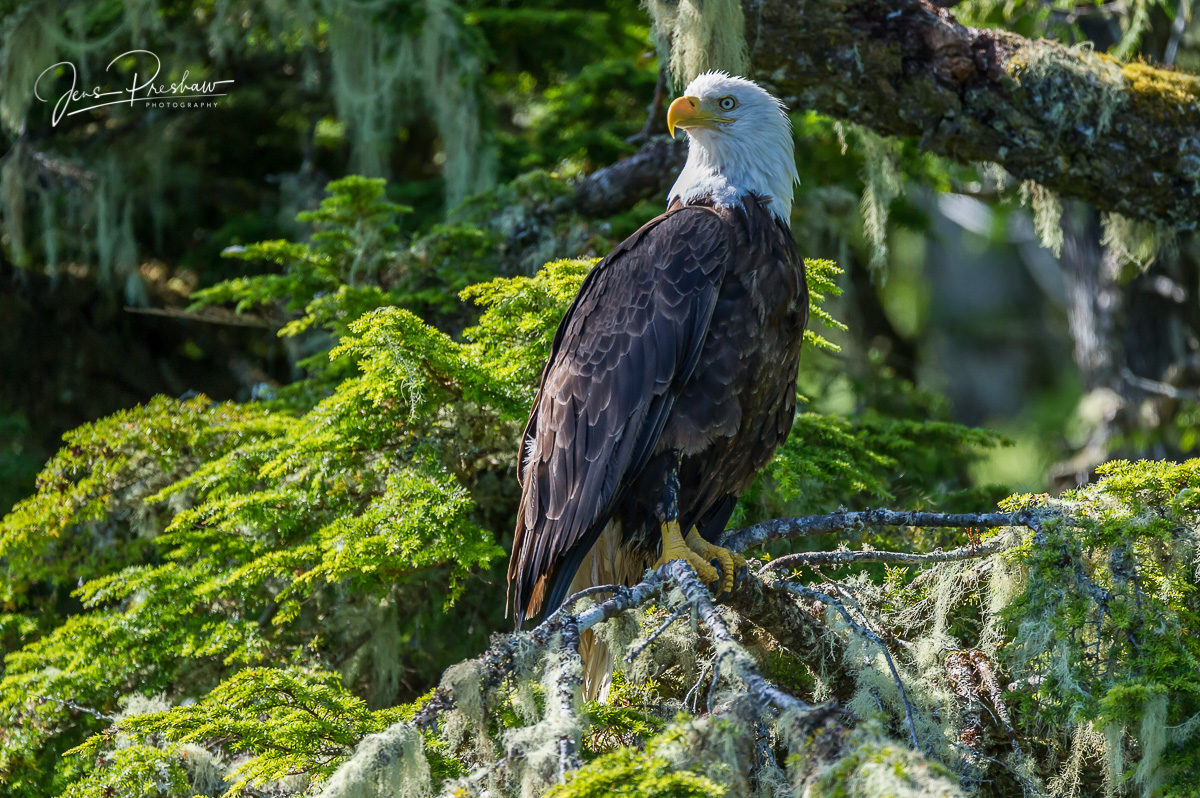 A Bald eagle ( Haliaeetus leucocephalus ) sits on a moss covered branch. A Bald eagle can live up to 40 years in the wild.