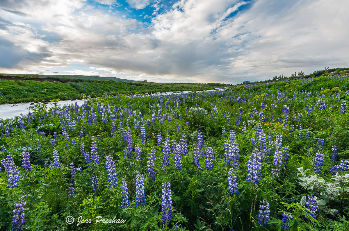 Alaskan Lupines, Purple, River, Southwestern Iceland, Summer
