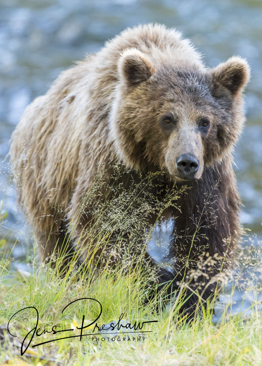 Grizzly Bear, Riverbank, Grass, River, British Columbia, Western Canada, Summer, photo