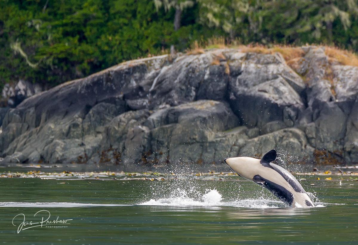 Killer Whale, Orca, Orcinus orca, Resident Killer whale, Breach, Breaching, Telegraph Cove, Johnstone Strait, Vancouver Island, British Columbia, Canada, Pacific Ocean, Summer, photo