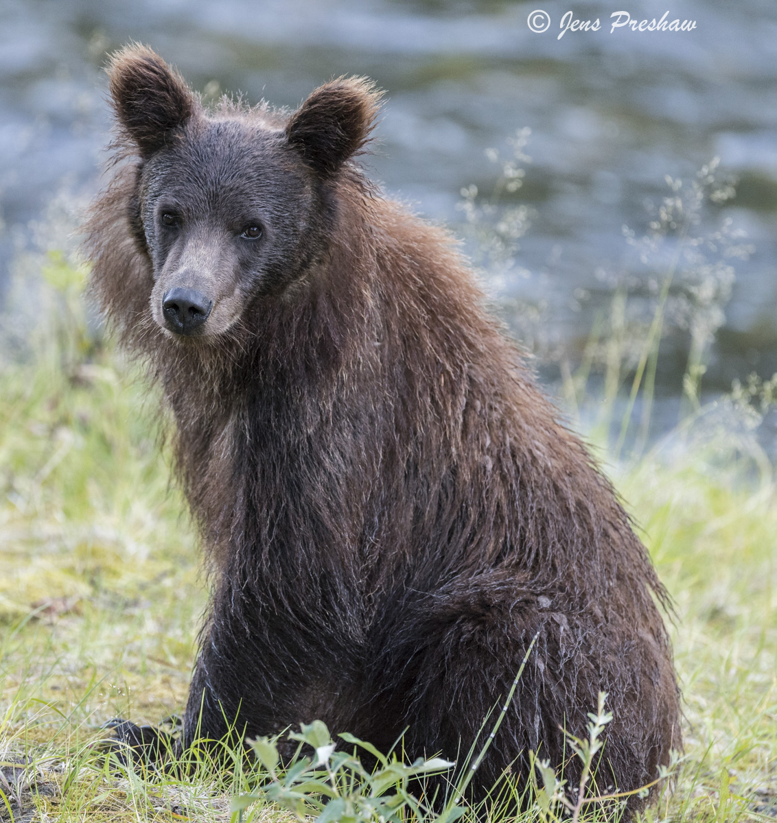 Grizzly Bear Cub, Dark Brown, Mane, Rounded Ears, Riverbank, River, British Columbia, Western Canada, Summer, photo