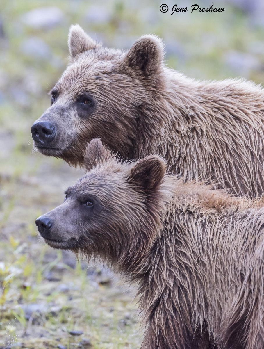 Grizzly Bear, Sow, Cub, Riverbank, River, British Columbia, Western Canada, Summer, photo