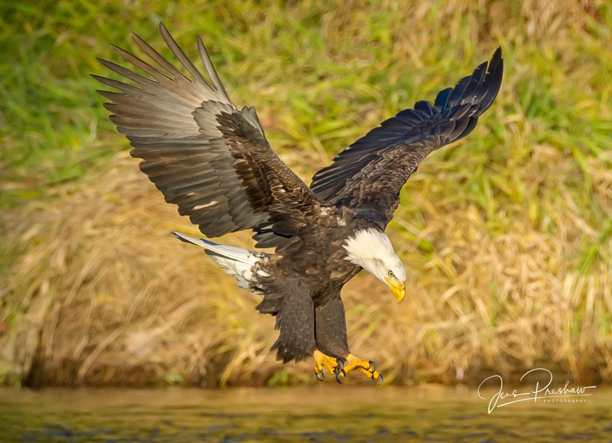 Bald Eagle, Haliaeetus leucocephalus, Adult, Talons, Nicomen Slough, British Columbia, Canada, Sunrise, Autumn, photo