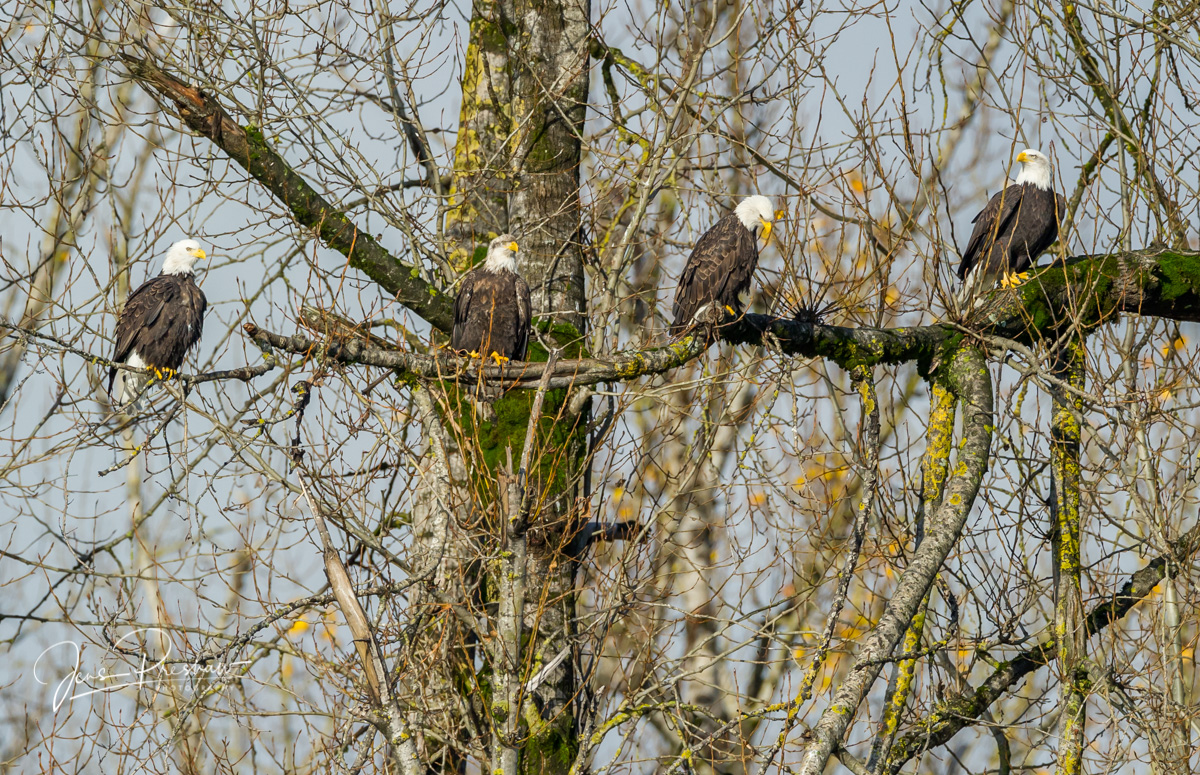 Four adult Bald Eagles ( Haliaeetus leucocephalus ) sitting on a branch and watching the river below.