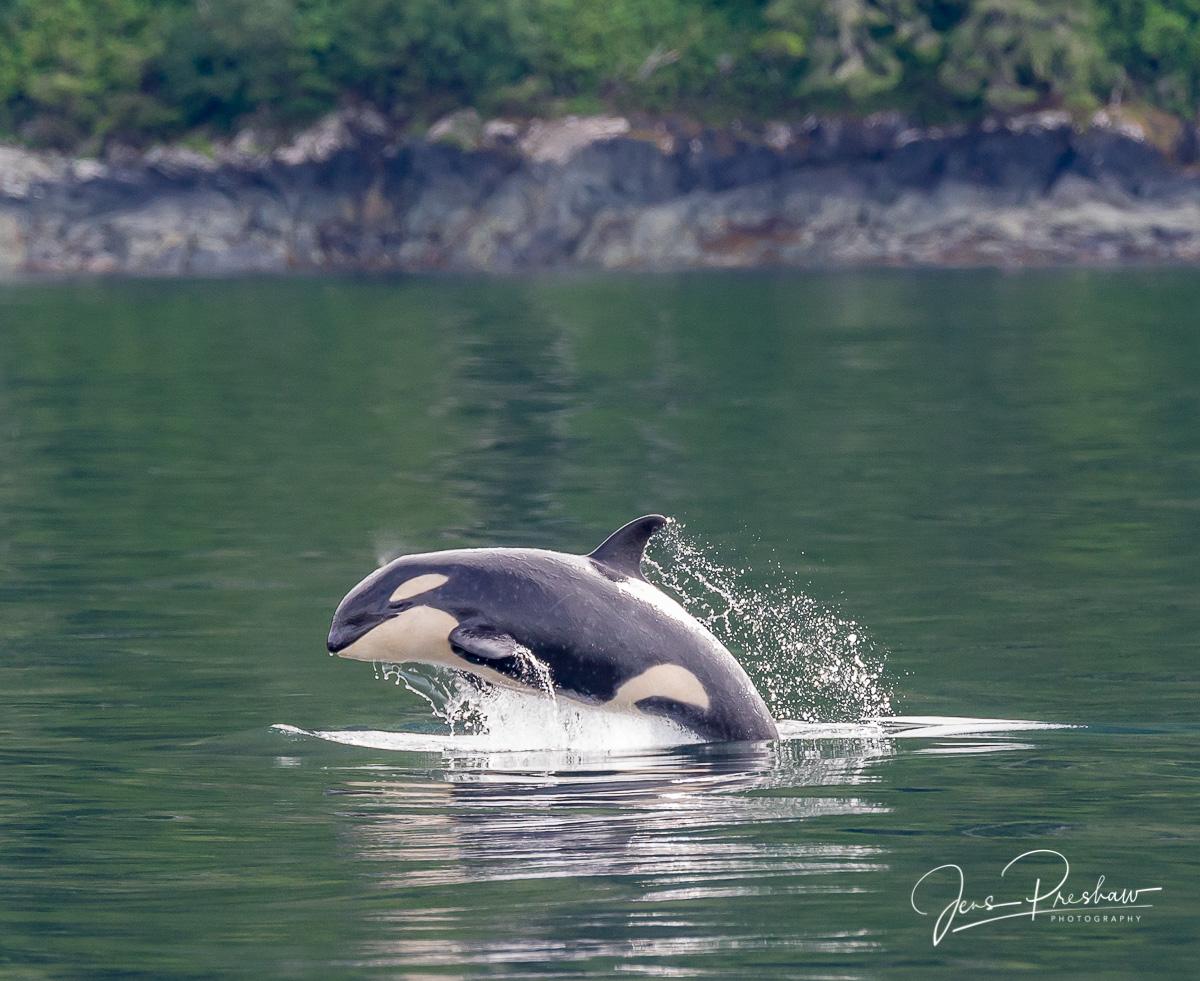 Killer Whale, Orcinus orca, Breaching, Johnstone Strait, Vancouver Island, British Columbia, Canada, Pacific Ocean, Summer, photo