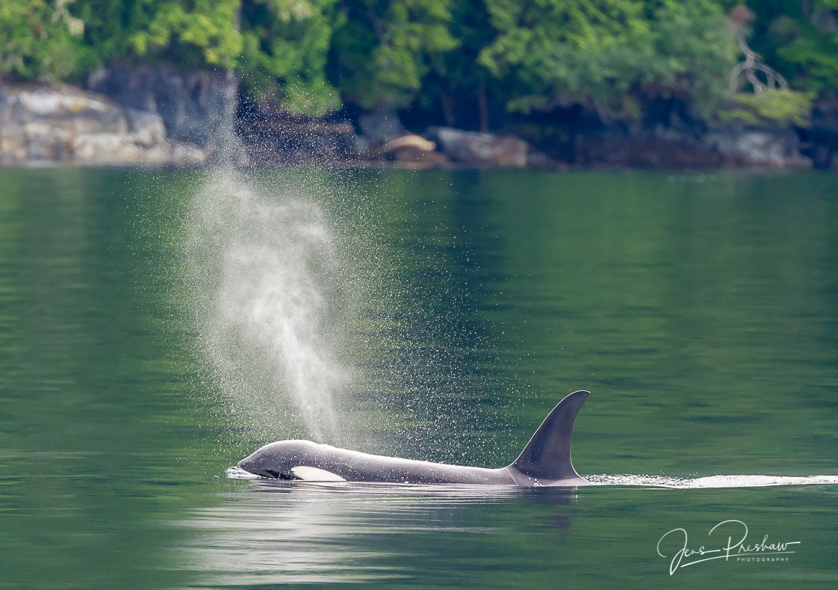 Killer Whale, Orca, Orcinus orca, Exhale, Breathing, Johnstone Strait, Vancouver Island, British Columbia, Canada, Pacific Ocean, Summer, photo