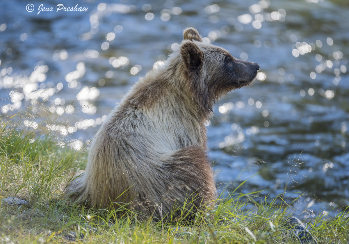 Grizzly Bear Cub, Riverbank, River, Fishing, Salmon, Sunset, British Columbia, Western Canada, Summer, photo