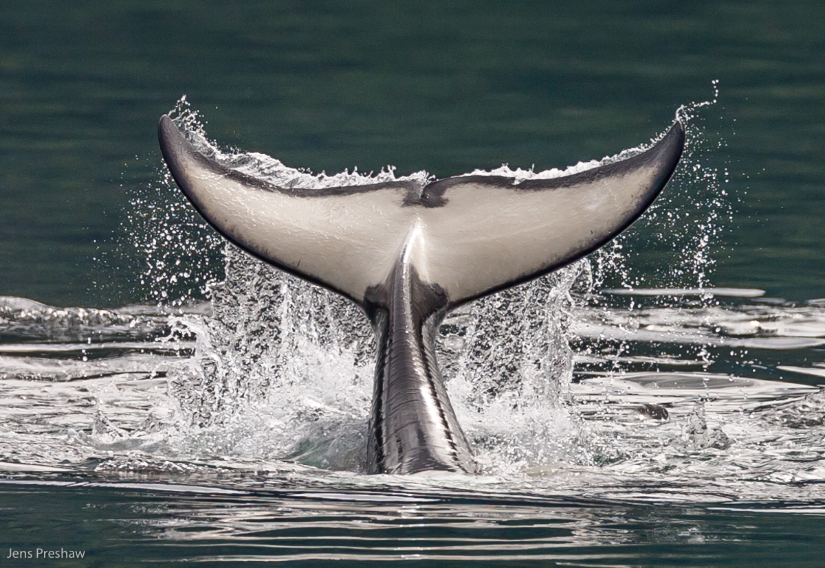 Orca, Killer Whale, Orcinus orca, Tail Flukes, Tail Slapping, White Ventrally, Johnstone Strait, Vancouver Island, British Columbia, Canada, Pacific Ocean, Summer, photo