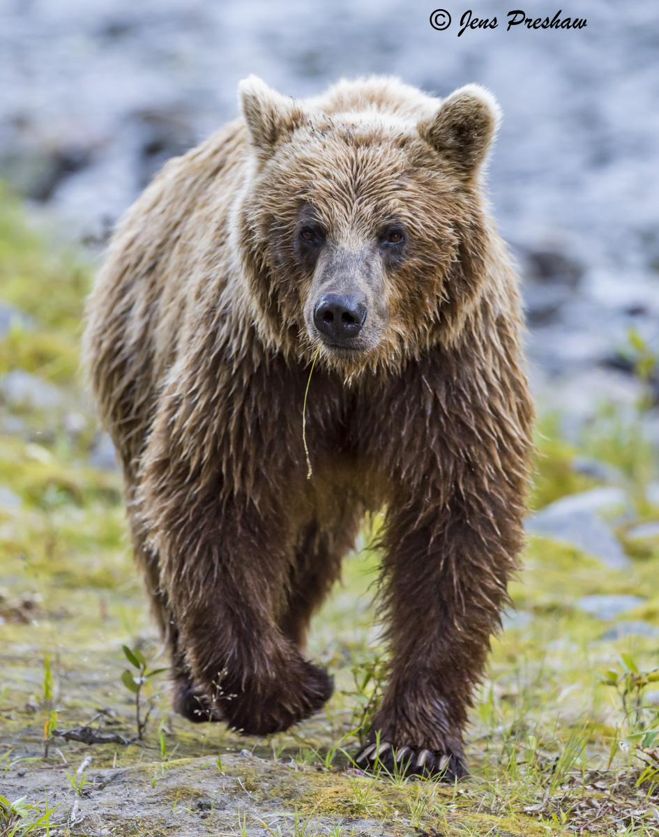 Grizzly Bear Sow, Riverbank, Grass, River, British Columbia, Western Canada, Summer, photo