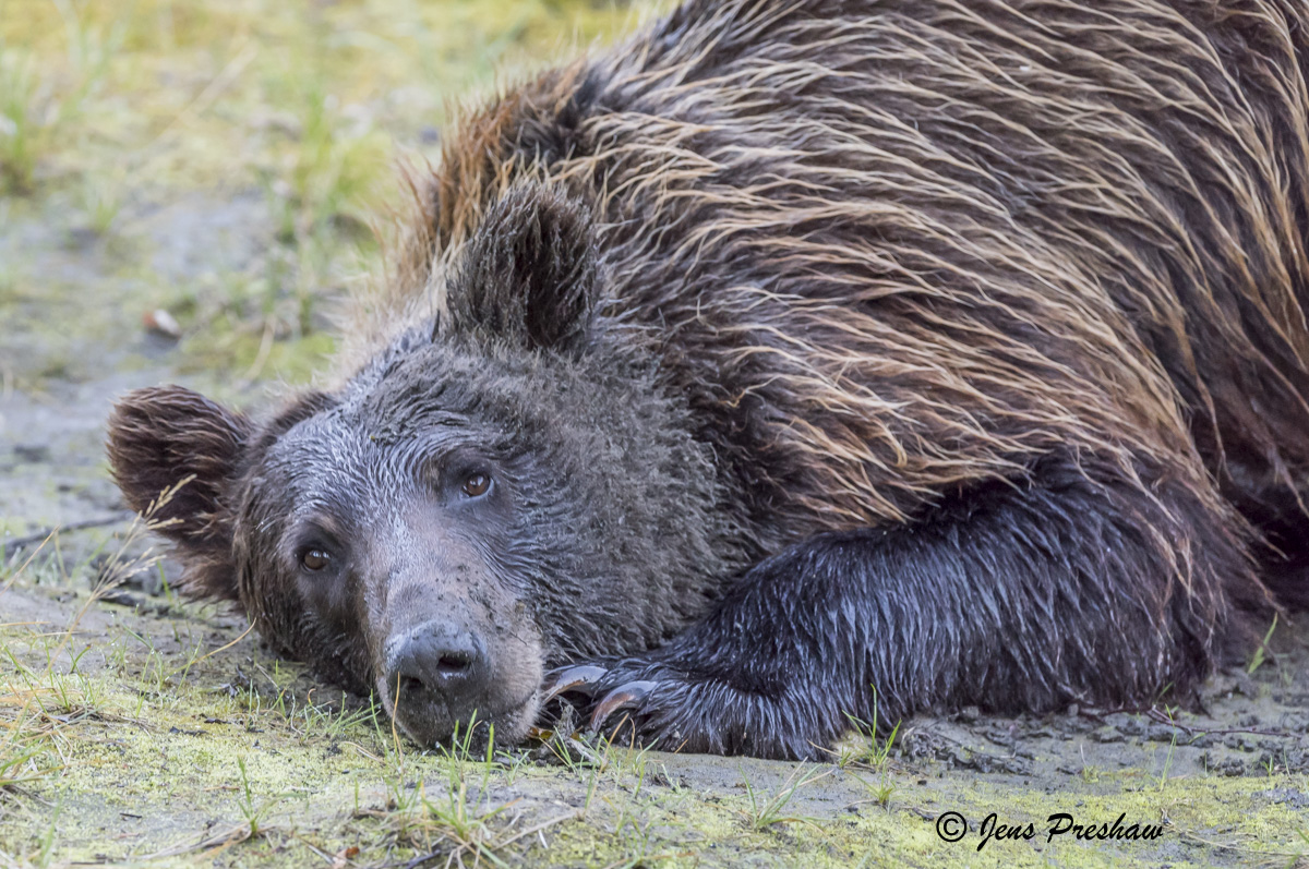 Grizzly Bear, Brown Eyes, Claws, Digging, Mud, Riverbank, River, British Columbia, Western Canada, Summer, photo