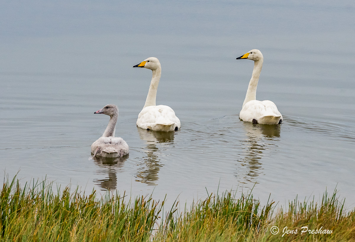 Whooper Swans, Cygnus cygnus, West Iceland, Summer, photo