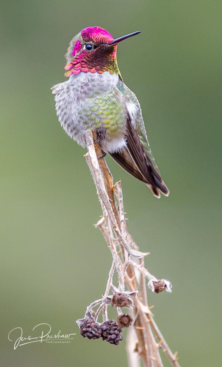 Anna Hummingbird, Calypte anna, British Columbia, West Coast, Winter, Canada, photo