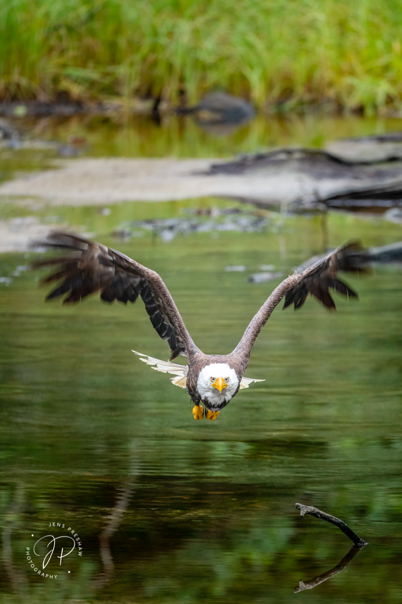 Bald Eagle, Haliaeetus leucocephalus, Tidal Marsh, Pacific Rim National Park Reserve, Vancouver Island, British Columbia, Canada, Summer, photo