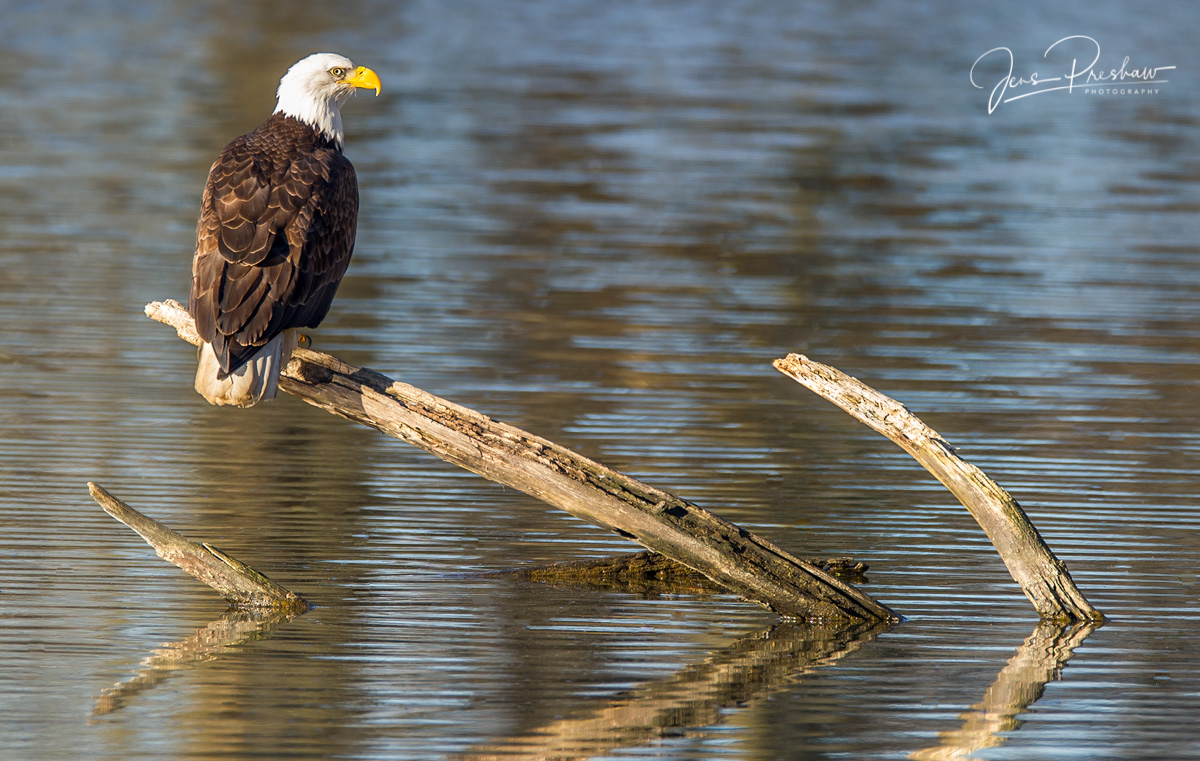 Bald Eagle, Adult, Haliaeetus leucocephalus, Alaksen National Wildlife Area, Fraser River Estuary, Delta, British Columbia, Canada, Spring, photo