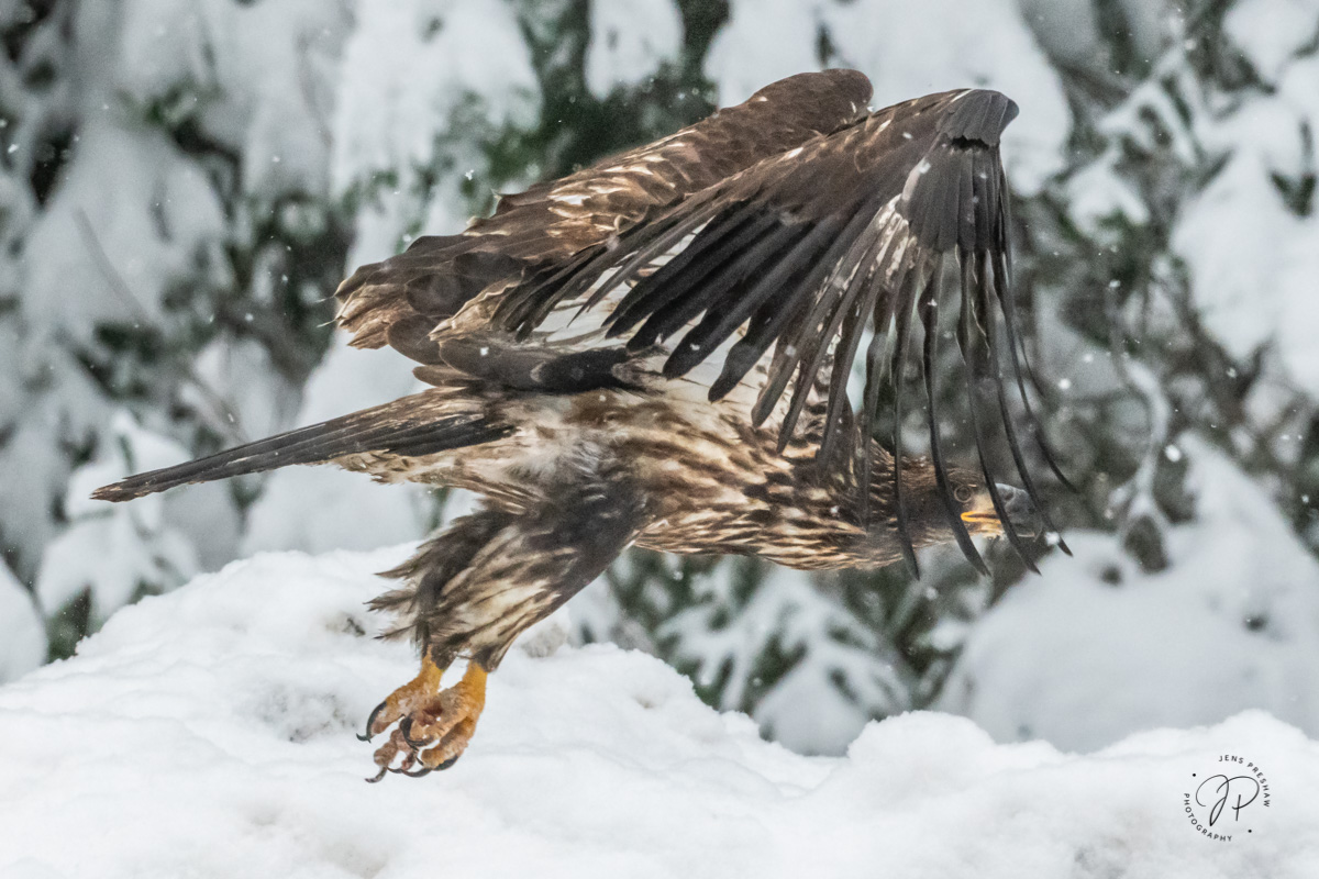 A juvenile Bald Eagle ( Haliaeetus leucocephalus ) takes off in the snow. A juvenile Bald Eagle has a brown body with brown and...