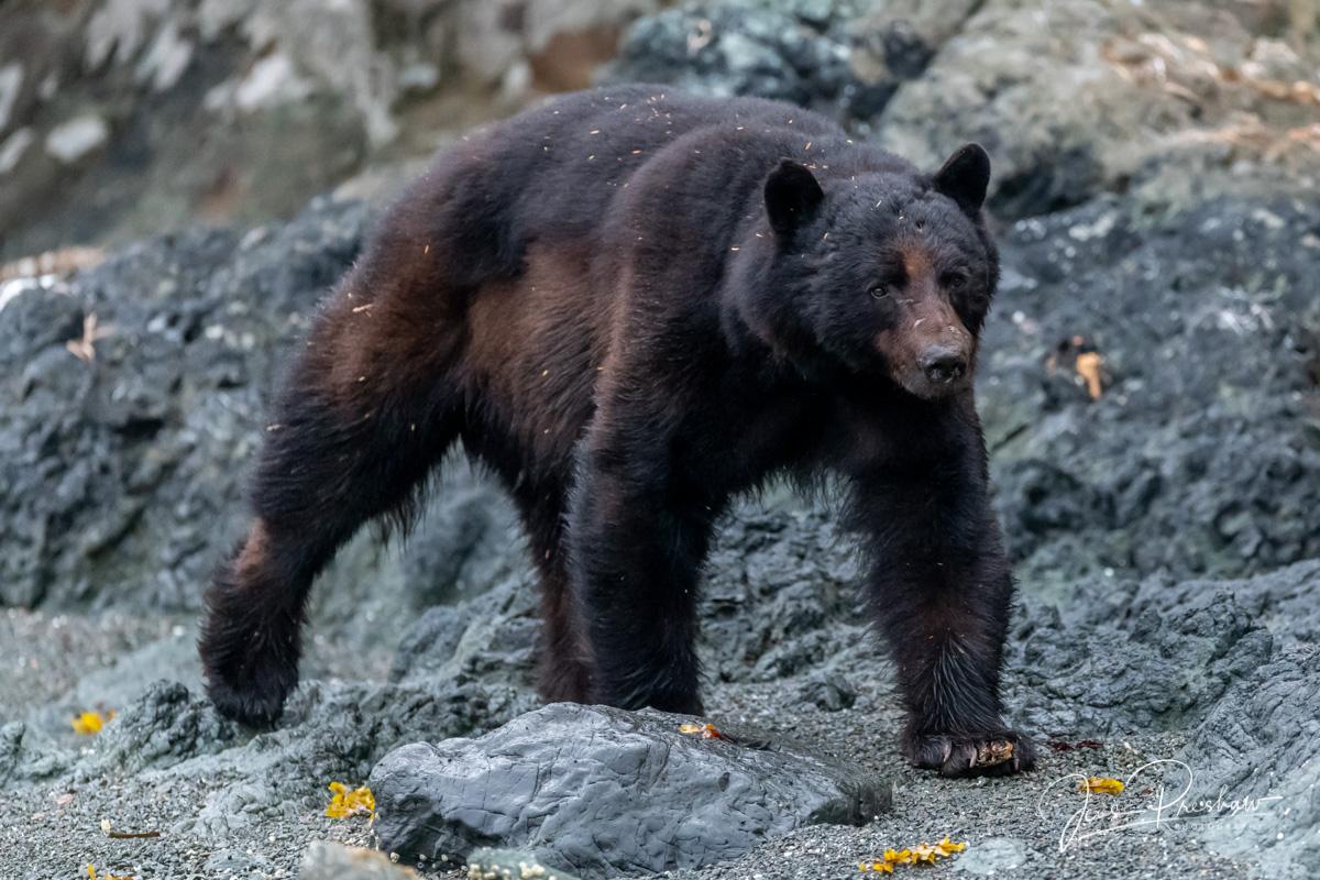 Black Bear, Ursus americanus carlottae, Gwaii Haanas National Park Reserve, Haida Gwaii, British Columbia, Hecate Strait, Pacific Ocean, Canada, Summer , photo