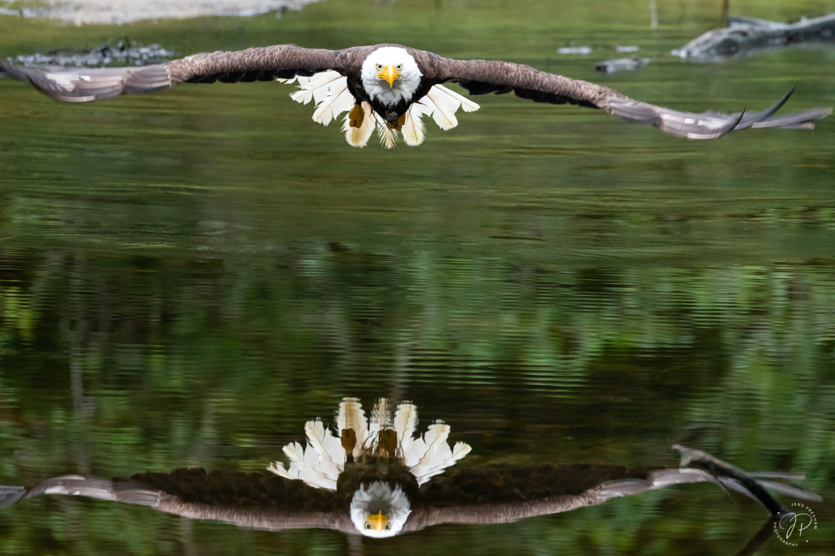 A Bald Eagle ( Haliaeetus leucocephalus ) taking off from a tidal marsh is reflected in the water. They feed mainly on fish (...
