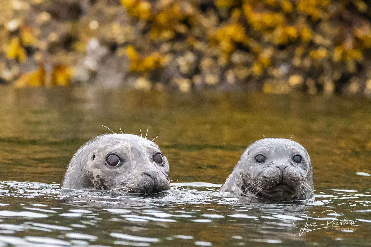 Two Harbour Seals ( Phoca vitulina ) in Gwaii Haanas National Park Reserve. The mother is on the left and the pup is on...