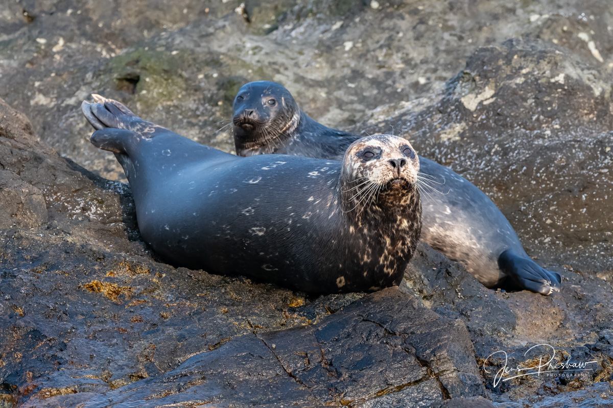 Harbour Seals ( Phoca vitulina ) spend about 20% of their time on land. They sleep lightly and wake frequentlytoscan...