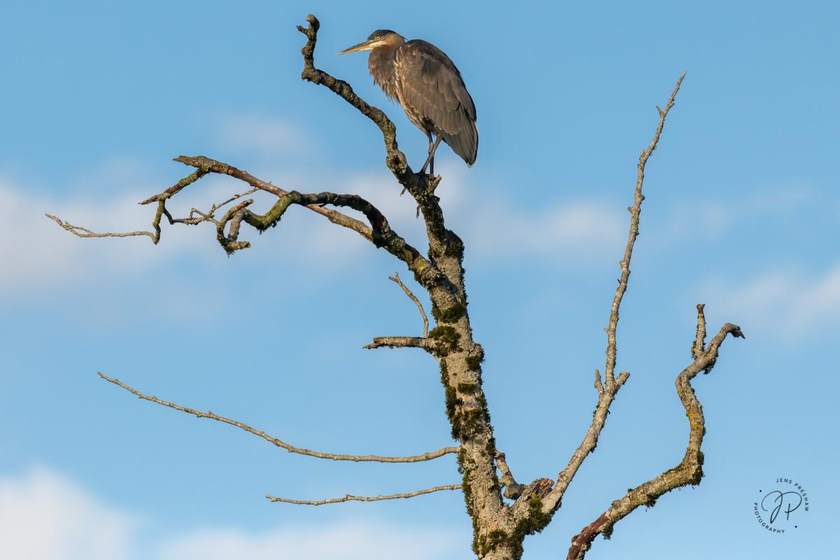Pacific Great Blue Heron, Ardea herodias fannini, Tree, British Columbia, Canada, Fall, photo