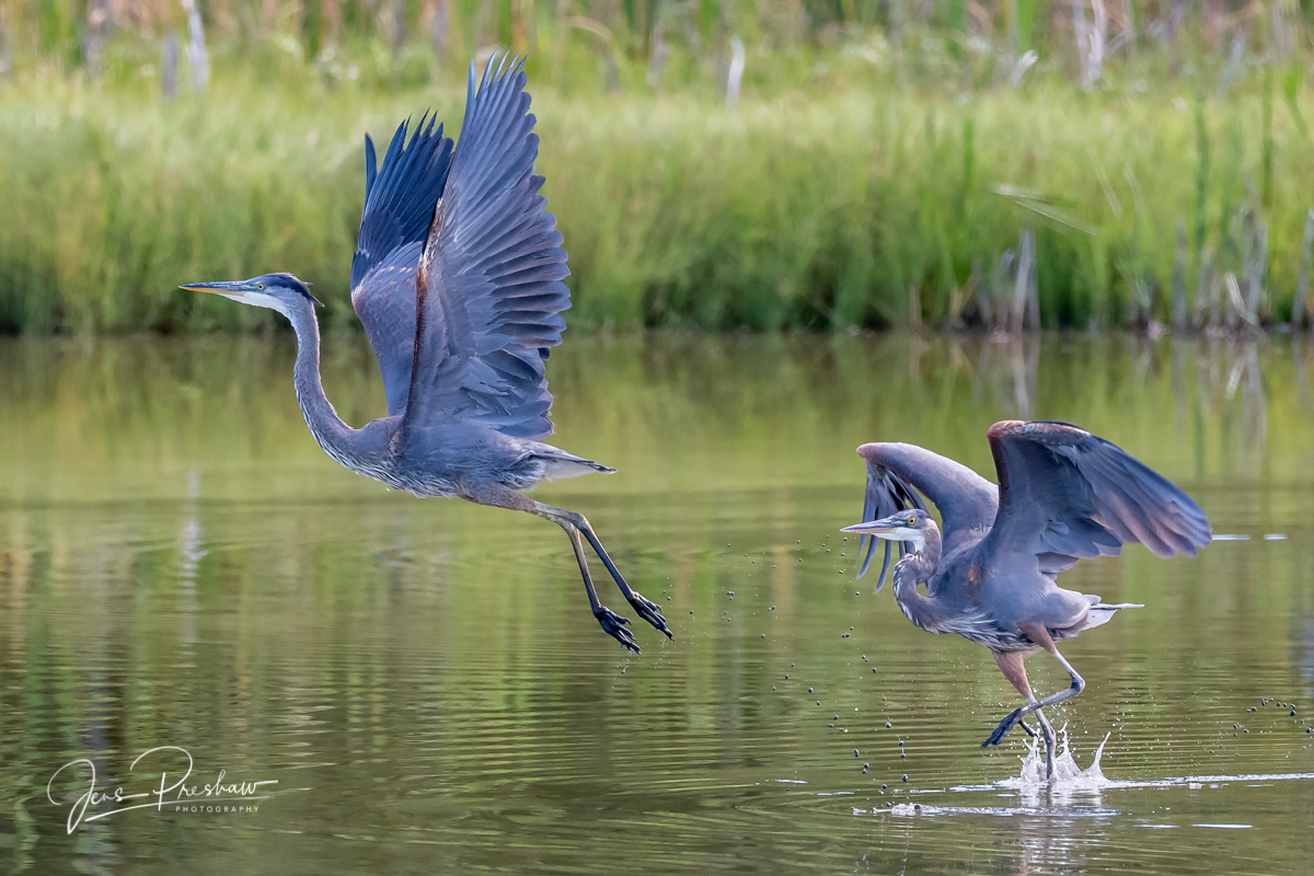 Pacific Great Blue Heron, Ardea herodias fannini, Marsh, British Columbia, Canada, Summer , photo