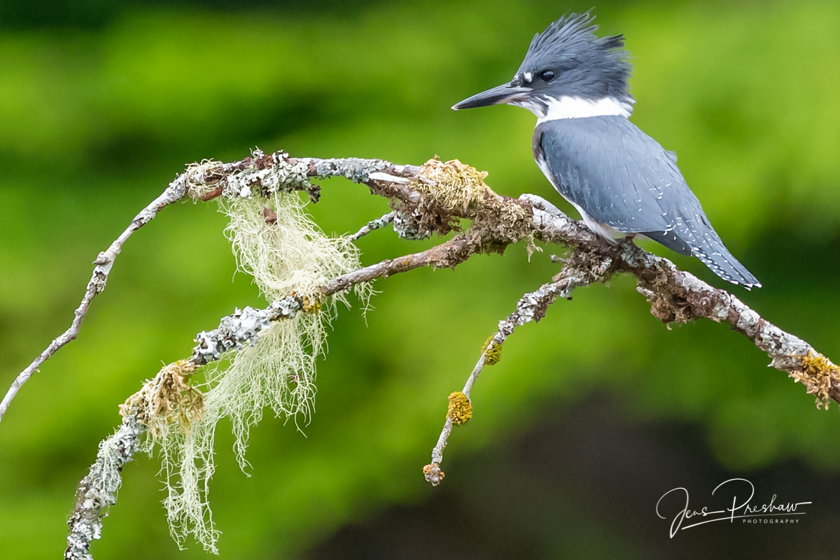 A Belted Kingfisher ( Ceryle alcyon ) is a fish-eating bird that is usually found in sheltered waters. This Belted...